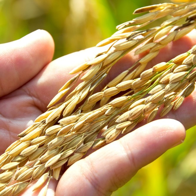 Riso-jolanda-Produzione-vendita-riso-carnaroli-arborio-vialone-integrale-farina-di-riso-semola-di-riso13