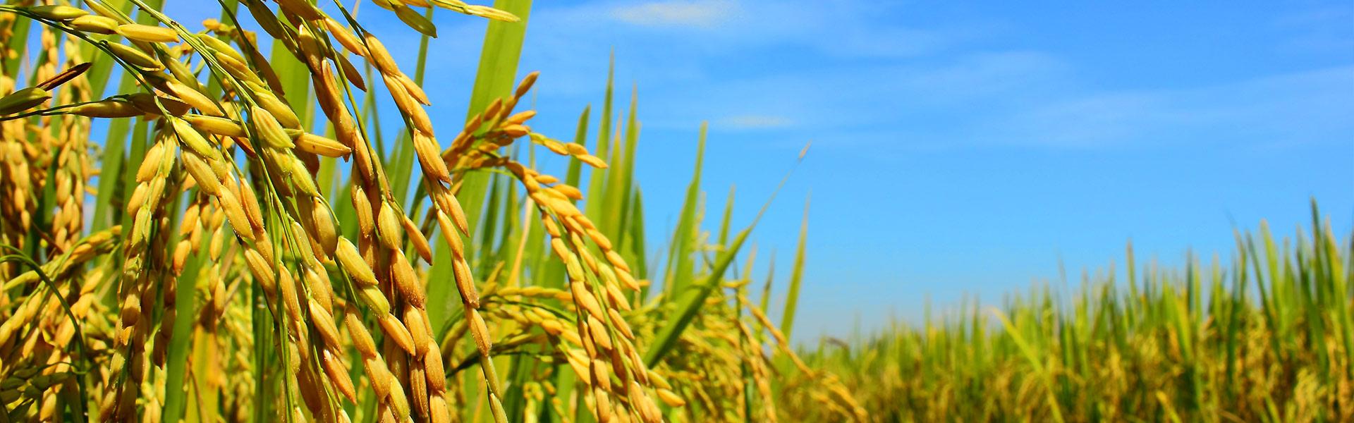 Riso-jolanda-Produzione-vendita-riso-carnaroli-arborio-vialone-integrale-farina-di-riso-semola-di-riso2