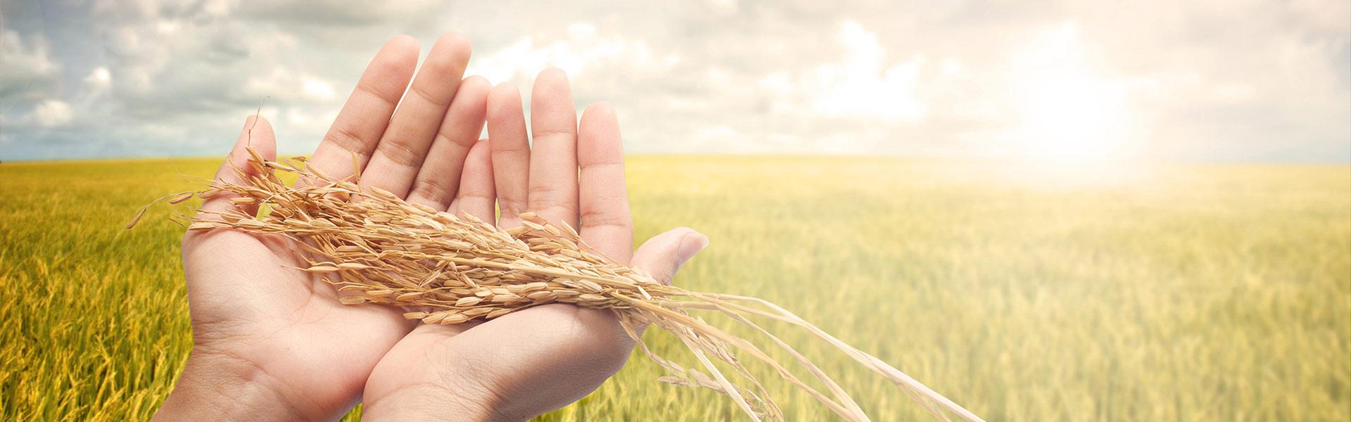 Riso-jolanda-Produzione-vendita-riso-carnaroli-arborio-vialone-integrale-farina-di-riso-semola-di-riso3
